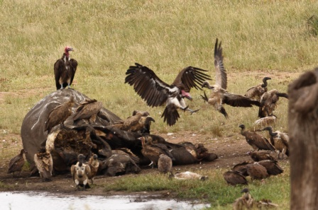 Cape Vulture, Hooded Vulture, White-backed Vulture, Lappet-faced Vulture