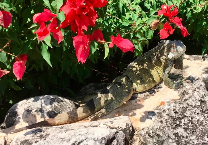 green iguana curaçao