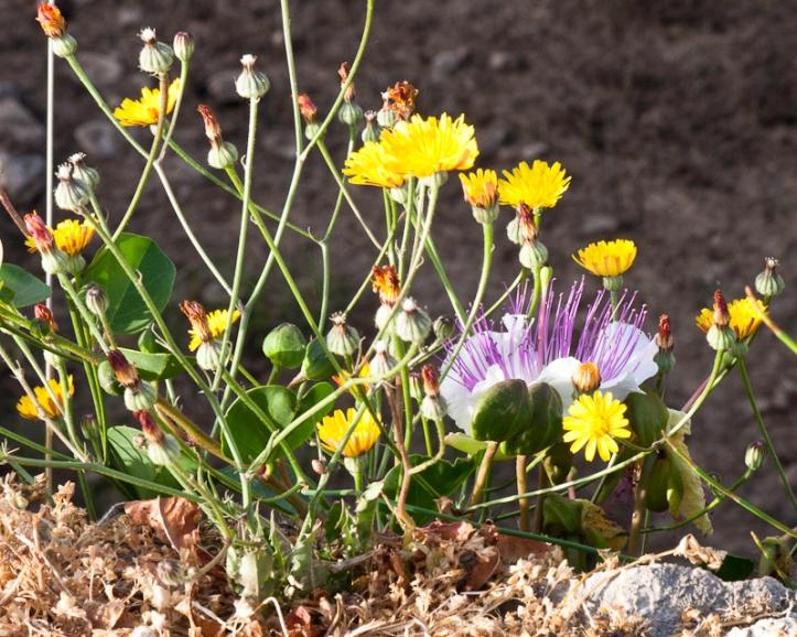 Wild flowers Greece
