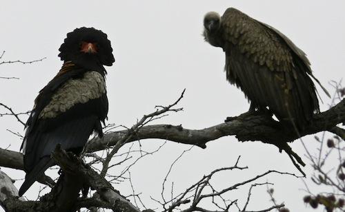 White-backed vulture & Bateleur