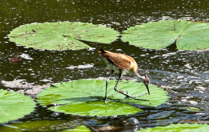 African Jacana, Lake Panic, Kruger National Park