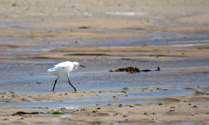 Little egret III