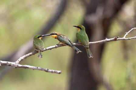 Little Bee-eater, Kruger National Park