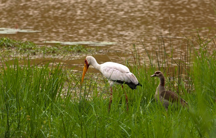 Yellow-billed Stork and Egyptian Goose