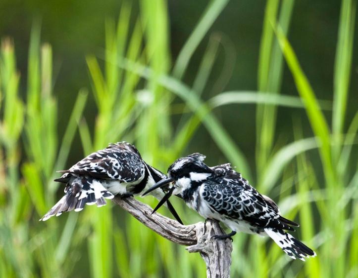 Pied Kingfisher, Lake Panic, Kruger National Park