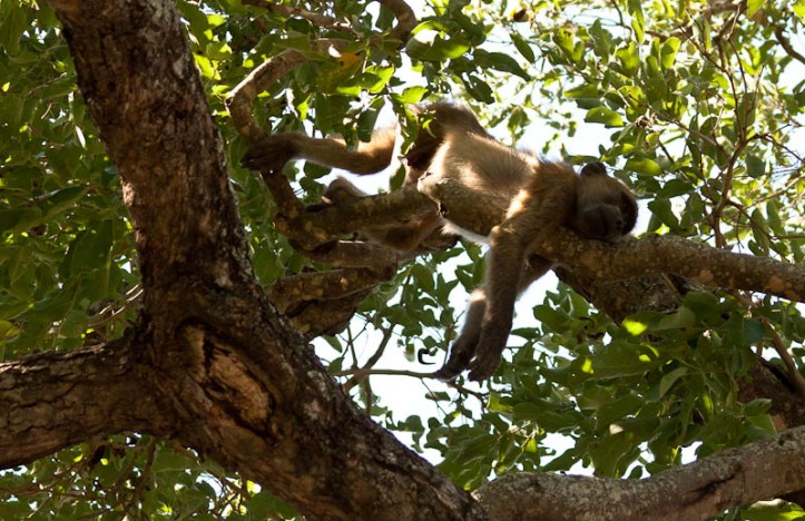 Chacma baboon sleeping in a tree, Kruger National Park