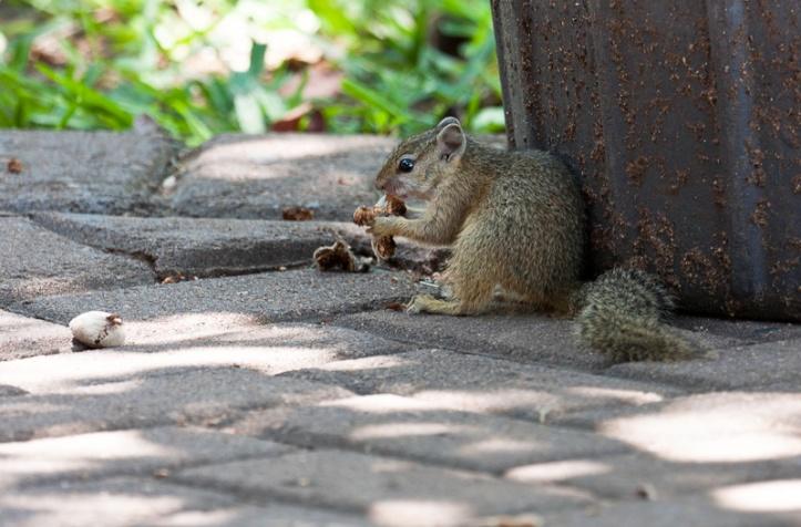 Squirrel at Letaba
